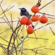 北印旛の鳥達(コハクチョウ他)