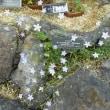 「うちょうらん」という花です6/19