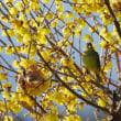 ソシンロウバイの小枝のアオジ