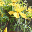 ミオウヤナギが 咲きました! 短命の黄色い花です!