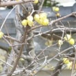 近所の梅の花等です