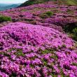 今日はミヤマキリシマ見に久住山に行ってきました・・( ´△`)アァ-満開は先週だったと
