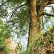 イチイガシの巨樹