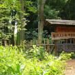 藤沢でレンゲショウマを見てきた