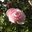 越後の飾り菊と初冬の淡いピンクのバラ
