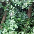 庭の様子とゴーヤチャンプルー