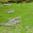 秘密の花園のサクラソウ。