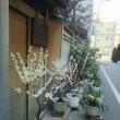 築地市場の佃林です。事務所の裏の大宗旅館の梅。