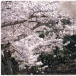 万博公園の桜~後編~