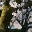今朝の、、桜、、。