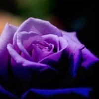 朽ちる身体 Vol.2 -BLUE MOON(薔薇)