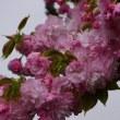 桜も今年は終わり!