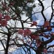 東風吹かば にほひおこせよ 梅の花 。