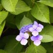 紫陽花の 光り輝く  五天山
