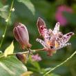 ホトトギスと蝶