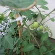 花壇のオクラとトマト