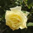 初冬の名称不詳の花と寒波後の庭のバラ