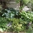 ホスタは日影の庭の王子様♪゚+.*゚(*'∪'*)♪ ゚+。