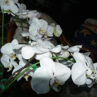 胡蝶蘭満開