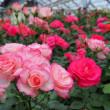 ローズヒルあまがせ・春のバラフェア その1 ~2018年・九州バラ園巡りの旅~