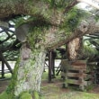 専念寺の傘松 富山県射水市