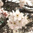 花咲きて「アベイチゾク」の幕降りる