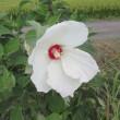 今朝の散歩の花