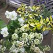 ブラック基調のシックかつ華やかな寄せ植え、リメイク寄せ植え、ミニ籠の可憐な寄せ植え