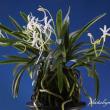 フウラン山採り(御前崎産)の花
