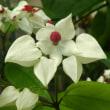 白と赤い花