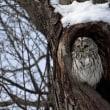 エゾフクロウの巣