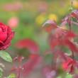 「ローズ!雨に濡れて」 いわき フラワーセンターにて撮影! 真紅のバラ