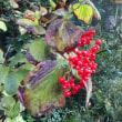 茨城県ひたちなか市・ひたち海浜公園でコキアの紅葉を見てくる
