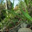 冬,虫の目写真(2) ~クビキリギス~