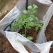 今年もきゅうり・ミニトマト植えました!
