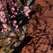 枝垂れ梅を楽しむ