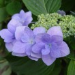 【紫陽花の季節】鎌倉明月院?思わせる色