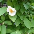 沙羅双樹、開花。