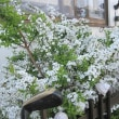 雪柳が満開です
