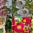 『季節の花』 タチアオイ