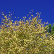 カツラ紅葉 桂 カツラ科 近くを通ると甘い香りが、香りが出るが語源でカツラになったようです。