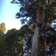 鹿児島・神木と四方竹。