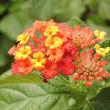 初冬のホトトギスの花とランタナ