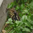 いなくなった?と心配していた庭のヒキガエル、いました!