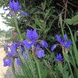 菖蒲の花と鯉のぼり