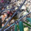 久々の鳥撮りは枝かぶり