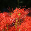 野木町 万福寺の萩の花と彼岸花