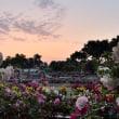 茜色のばら園