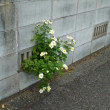 ブロックから菊が