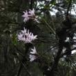 ムヨウランとイチヤクソウが咲き始めた高尾山 2018.5.26